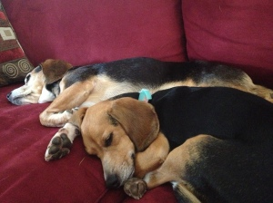 2 Beagles
