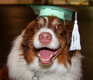 """Ruby Sue in Graduation Cap"" by australianshephards, Flickr Creative Commons"