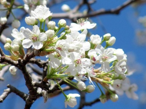 "Photo: ""Blossom Time, Fuquay-Varina"" by Universal Pops, flickr creative commons"