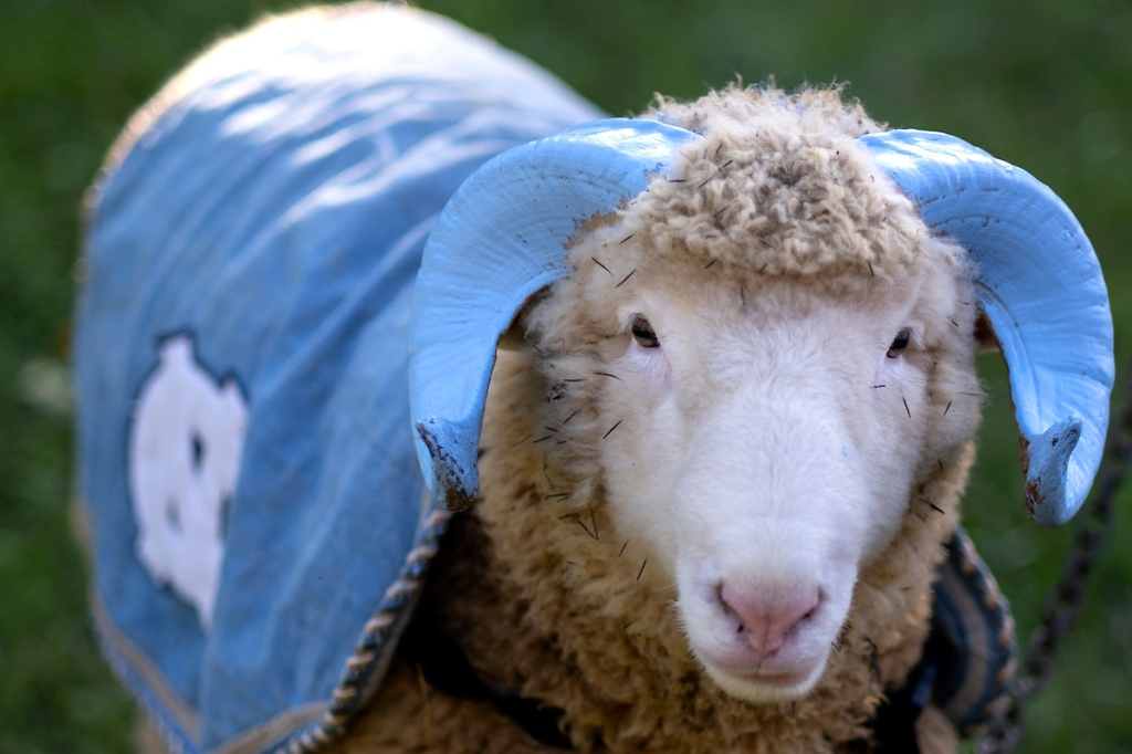Otis will be Rameses XXII as Rameses XXI goes into retirement at the Hogan's Magnolia View Farm in Chapel Hill, NC. November 3, 2020. The Hogan family has been caretakers of the rams that have served as UNC's mascot since 1924. (Jon Gardiner/UNC-Chapel Hill)